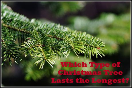 what type of christmas tree lasts the longest - Type Of Christmas Trees